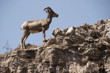Last Chance for Desert Bighorn Sheep
