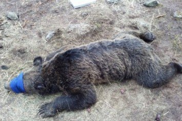 Report Sheds Light on Grizzly Bear Mauling at Yellowstone