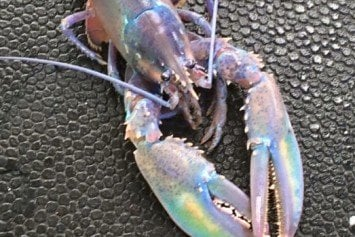 Hey, That's One Trippy Lobster