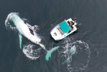 Boat Has Extremely Close Call with 40 Ton Humpback Whale