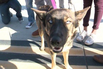 German Shepherd Survives 5-Weeks on Deserted Island