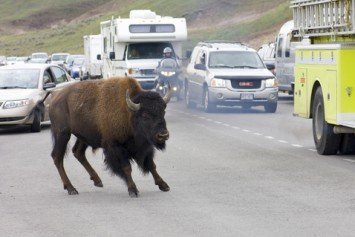 Smartphones and Selfies Blamed for Dangerous Bison Encounters