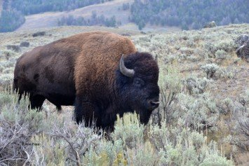 Lawmakers Want Hunters Help to Thin Bison Herds at Grand Canyon