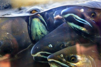Low Salmon Returns in Northern California Spell Dismal Season