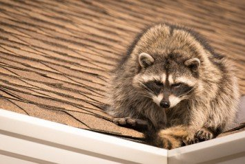 How to Handle Pesky Raccoons And Get a Meal Out Of It
