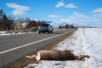 Roadkill, It's What's for Dinner