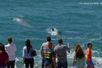Gray Whale Plays in Redondo Beach Surf