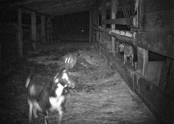 cougar-goat