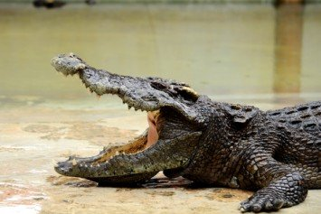 Crocodile Attacks Australian Camper in His Sleep