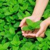 mint picking