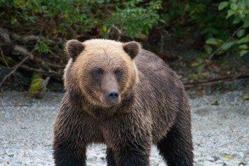 Bear Attacks Mountaineering Instructor in Alaska
