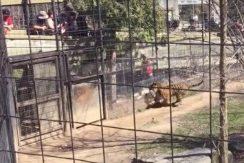 Incredible Moment Woman Jumps Into Tiger Enclosure For Hat