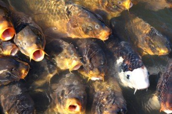 Could Herpes Virus Eradicate Invasive Carp?