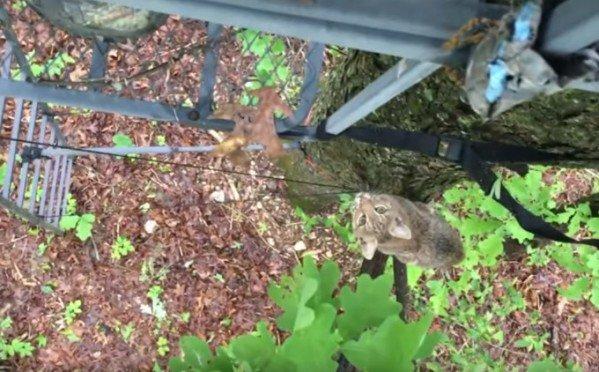 bobcat-treestand