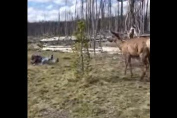 Elk Charges Woman Taking Photo at Yellowstone