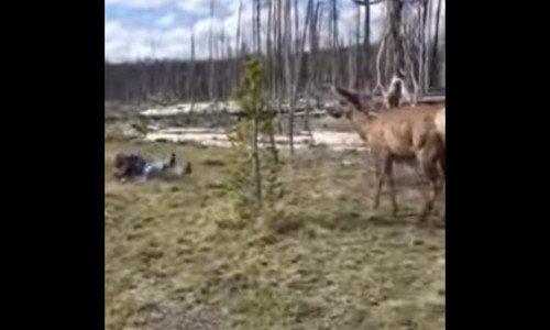 elk-charge2