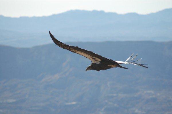 Gymnogyps_californianus_-Los_Padres_National_Forest_,_California,_USA_-soaring-8