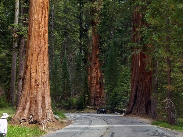 sequoia-trees-53183_960_720