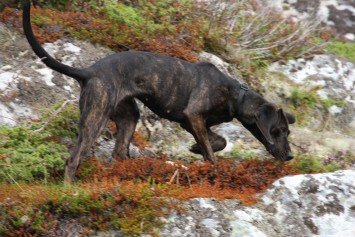 How to Train a Bear Hunting Dog