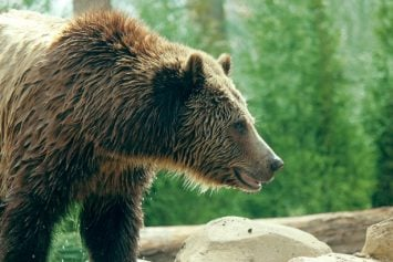 Cruise Ship Passengers Witness Grizzly Attack on Two Guides