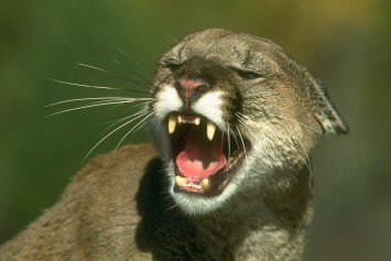 The Most Horrific Mountain Lion Sounds You'll Ever Hear