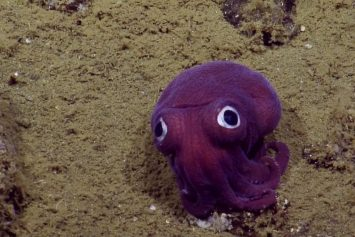Scientists Spot Purple Squid that Looks Like Cartoon Character