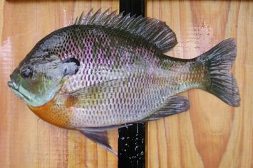How to Go Deep for Big Fall Bluegills