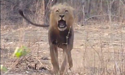 lion charge kruger