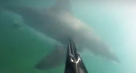 spear shark