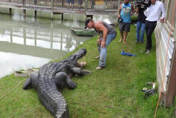 Nearly 14 Foot Gator Nicknamed Big Tex, State's Largest