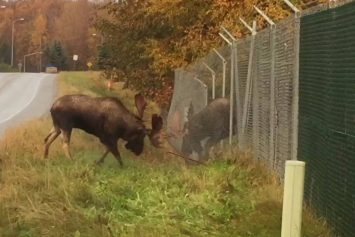 Two Moose Battle Between Chain Link Fence