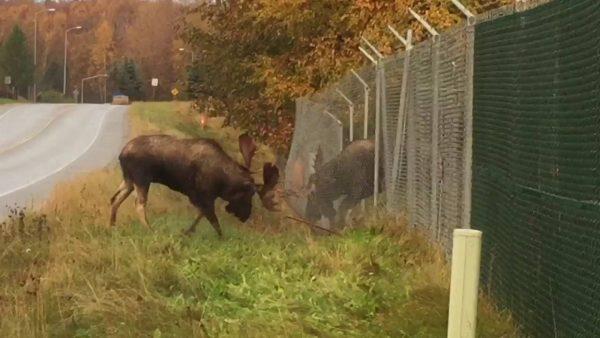 moose fense