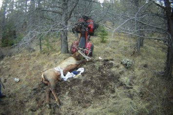 Oregon Hunter Impaled by Elk