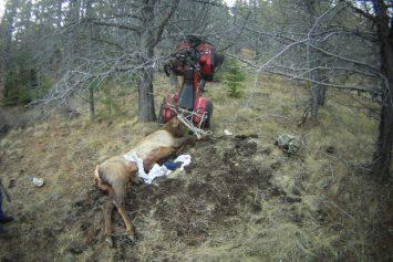 Oregon Hunter Impaled by Elk