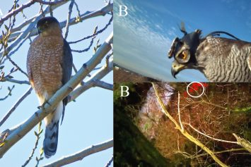 How Hawks Hunt: Amazing First-Person Video