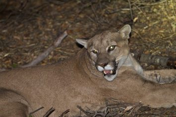 Malibu Rancher Says She Won't Kill Mountain Lion that Attacked Alpacas