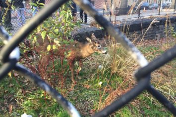 Deer Rut Brings Unlikely Visitor to Harlem