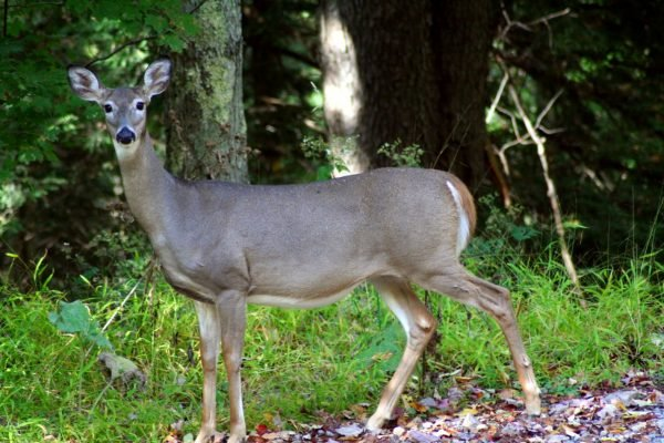 Whitetail-deer-1_-_West_Virginia_-_ForestWander
