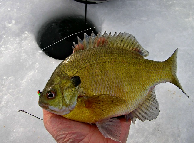 6 best ice fishing live baits for sunfish liveoutdoors for Ice fishing bluegill