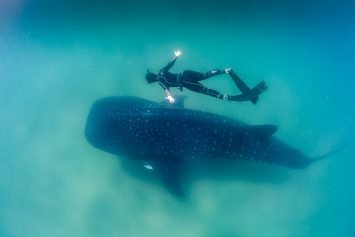 Top 7 Places to Swim with Whale Sharks