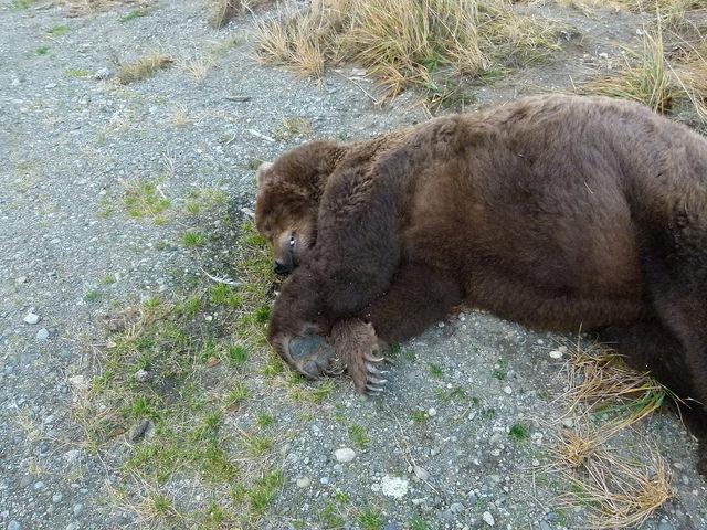 Two Mysterious Bear Deaths At Katmai National Park Alarm Rangers