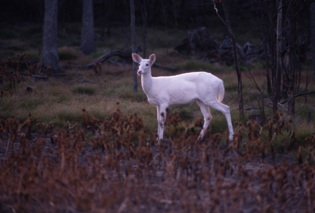 A rare albino deer