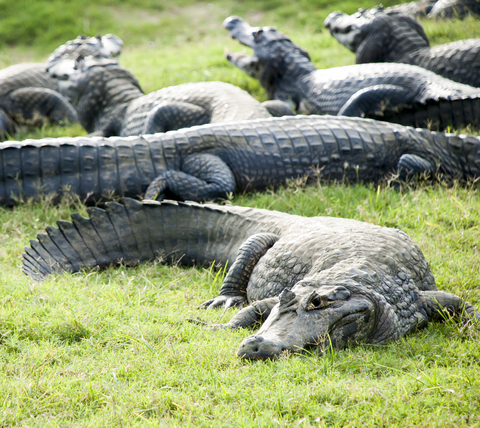 Alligator Group