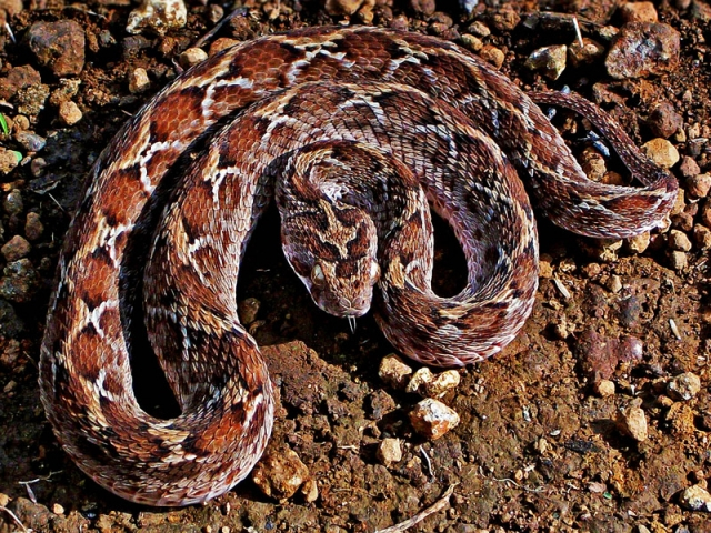 Saw-scaled viper